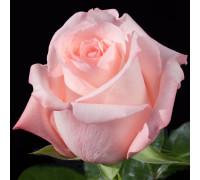 роза Энгажамент эквадор 70 см.