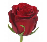 роза эквадор 110 см.