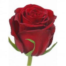 роза эквадор  70 см.