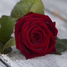 роза Нидерланды 70 см.